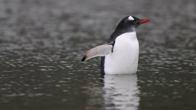 gentoo penguin standing waist deep in water - waist deep in water stock videos & royalty-free footage