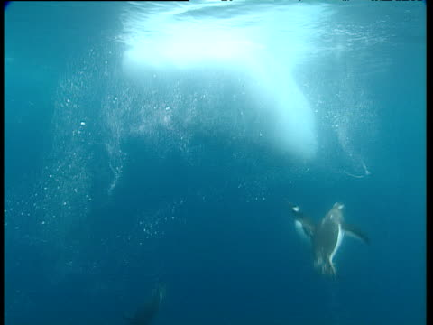 gentoo penguin tries to jump onto small iceberg but falls back into water, other penguins jump out of and dive into the water, port lockroy - gentoo penguin stock videos and b-roll footage