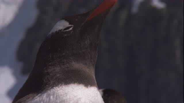 stockvideo's en b-roll-footage met a gentoo penguin turns its head. available in hd. - atlantische eilanden