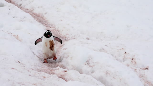 gentoo penguin, very dirty, on path between rookery and ocean, cuverville, antarctic peninsula, southern ocean - antarctic ocean stock videos and b-roll footage