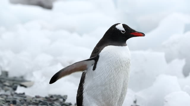 gentoo penguin walking along beach with lots of ice - waddling stock videos and b-roll footage