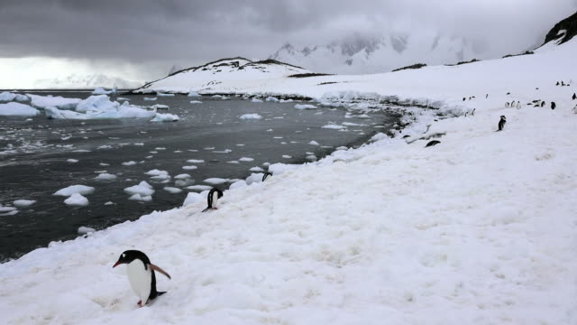 gentoo penguin walking along shore of cuverville, antarctic peninsula, southern ocean - tierkolonie stock-videos und b-roll-filmmaterial