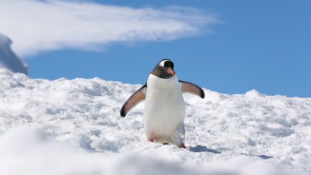 gentoo penguin walking downhill through snow towards camera - waddling stock videos and b-roll footage
