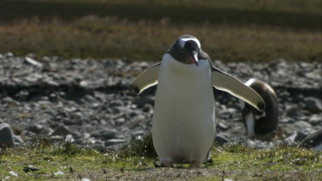 vídeos y material grabado en eventos de stock de ms, gentoo penguin walking on grass and flapping wings, antarctica - cuatro animales
