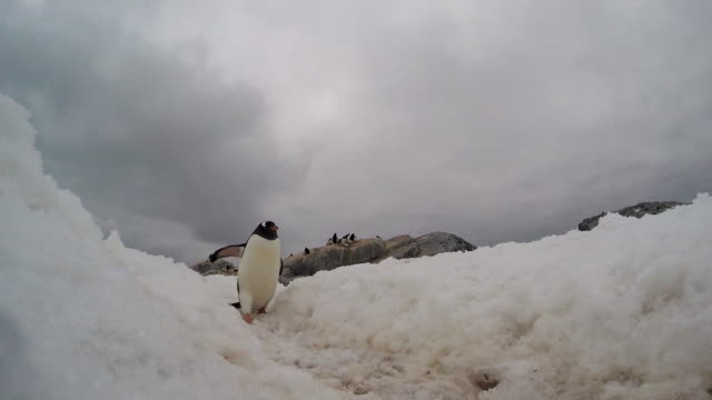 gentoo penguin walks past camera - polar stock videos & royalty-free footage