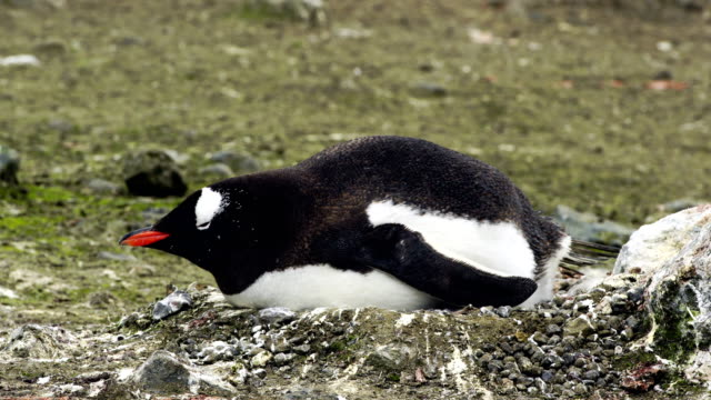 gentoo penguin with chick in nest - pole stock videos & royalty-free footage