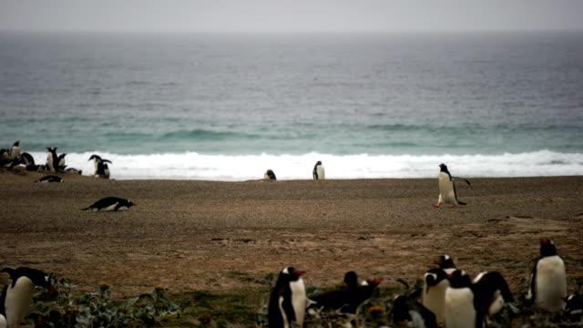 vídeos y material grabado en eventos de stock de pingüinos de papúa (pygoscelis papua) en la playa en las islas malvinas - small group of animals