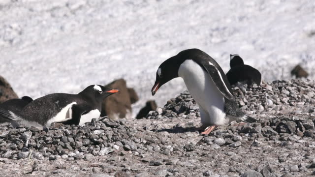 Gentoo Penguins building nest with pebbles, Brown Bluff, Antarctic Peninsula, Southern Ocean