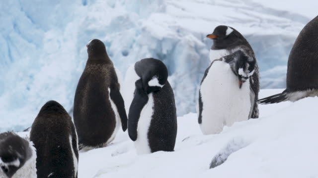 Gentoo penguins colony in Antarctica