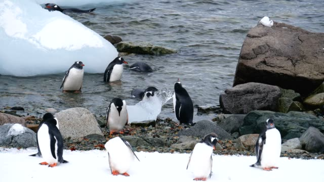 Gentoo penguins in the shore