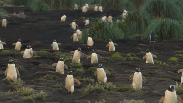 gentoo penguins march to the sea, falkland islands - gentoo penguin stock videos and b-roll footage