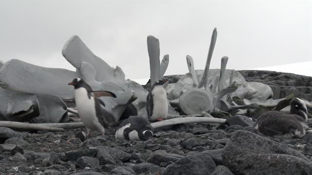 ms, gentoo penguins near whale bones, port lockroy, antarctica - whale stock videos & royalty-free footage
