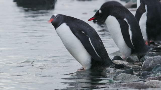 gentoo penguins on rocks - kleine gruppe von tieren stock-videos und b-roll-filmmaterial