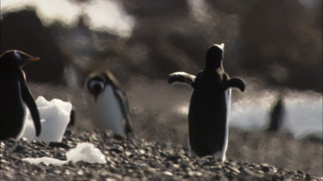 cu, defocus, gentoo penguins (pygoscelis papua) on rocky beach, antarctica - 熱波点の映像素材/bロール