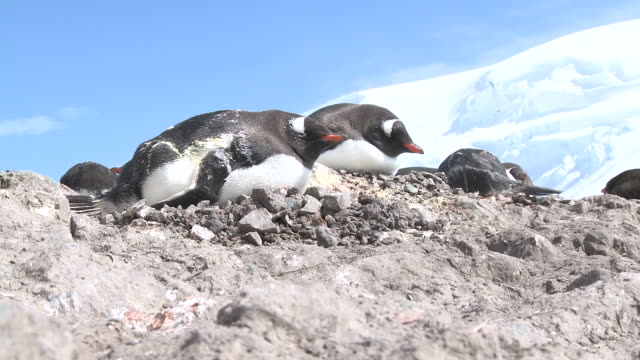 Gentoo penguins (Pygoscelis papua) on rocky nests. Mikkelson Harbour, Antarctic peninsula