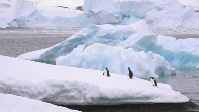 gentoo penguins on snowy peninsula, cuverville, antarctic peninsula, southern ocean - three animals stock videos & royalty-free footage