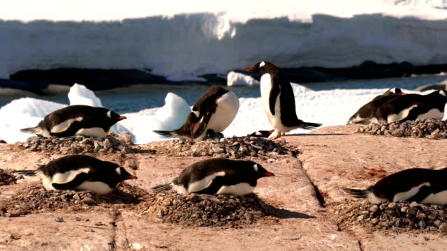 gentoo penguins on the antarctic peninsula - named wilderness area stock videos & royalty-free footage