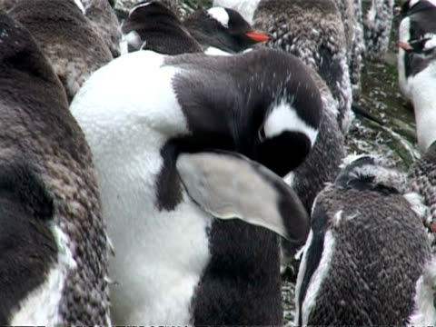 gentoo penguins - cu one preens flipper in group moulting, antarctica - eitelkeit stock-videos und b-roll-filmmaterial