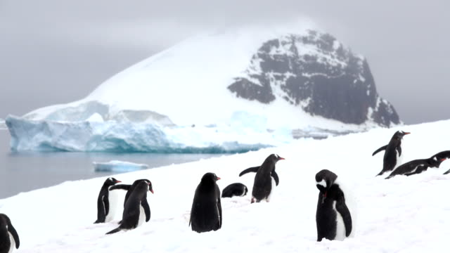 gentoo penguins preen walk danco island mountain glaciers antarctica gerlache strait - penguin stock videos & royalty-free footage