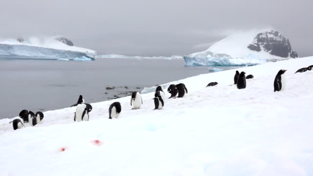 gentoo penguins preen walk danco island mountain glaciers antarctica gerlache strait - antarctica iceberg stock videos & royalty-free footage