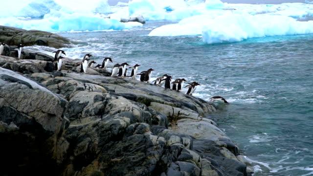 gentoo penguins sm - ペンギン点の映像素材/bロール