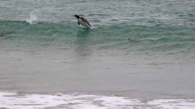 gentoo penguins surfing ashore, falkland islands, new island - falkland islands stock videos and b-roll footage