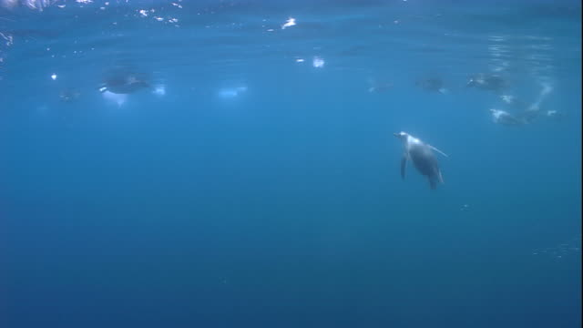 gentoo penguins swim and dive together in the ocean. available in hd. - gentoo penguin stock videos and b-roll footage