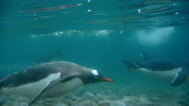 gentoo penguins swim cold neko harbor waters andvord bay antarctica - penguin stock videos & royalty-free footage