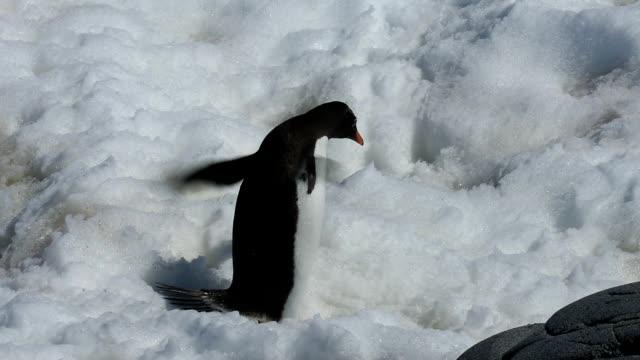 vídeos y material grabado en eventos de stock de pingüinos gentoo - pingüino