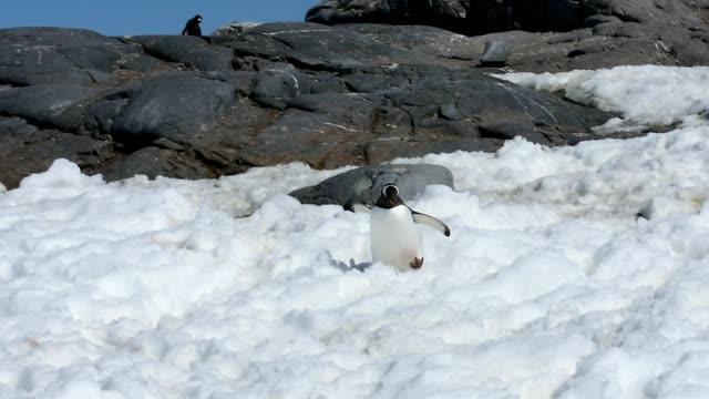gentoo penguins - struggle stock videos & royalty-free footage