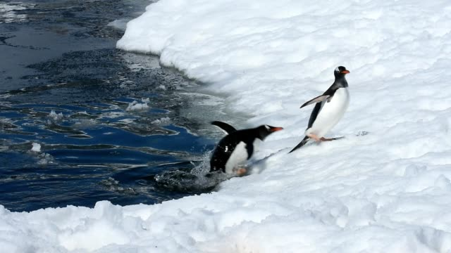 gentoo penguins - penguin stock videos & royalty-free footage
