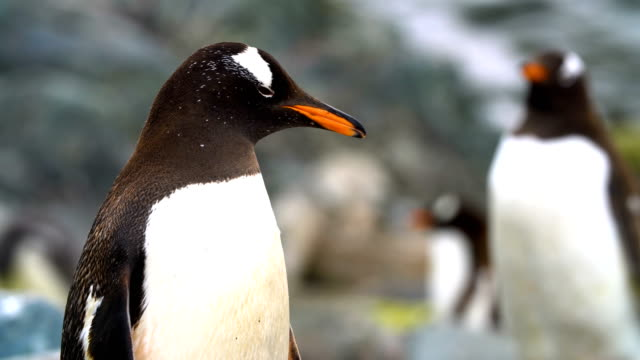 stockvideo's en b-roll-footage met gentoo penguins - dierenverzorging