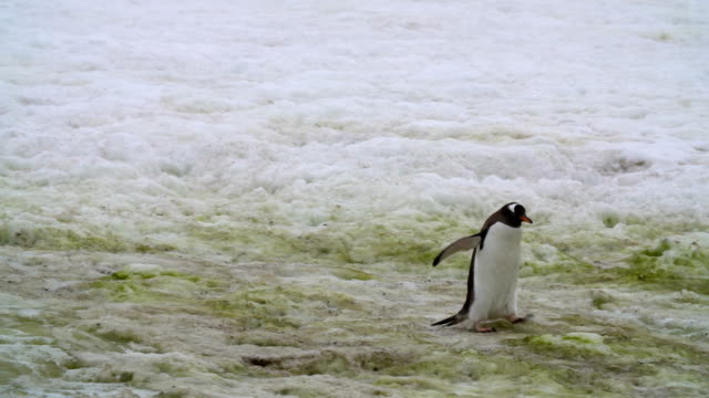 gentoo penguins - gentoo penguin stock videos and b-roll footage