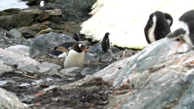 gentoo penguins - mittelgroße tiergruppe stock-videos und b-roll-filmmaterial