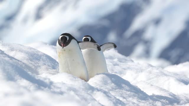 gentoo penguins walking through snow towards camera - ペンギン点の映像素材/bロール