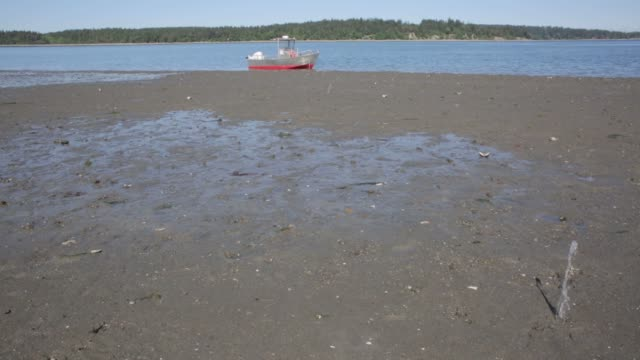 geoducks squirt water above the surface of the sand at a geoduck farm on a beach leased by taylor shellfish company near olympia washington on may 10... - squirting stock videos and b-roll footage