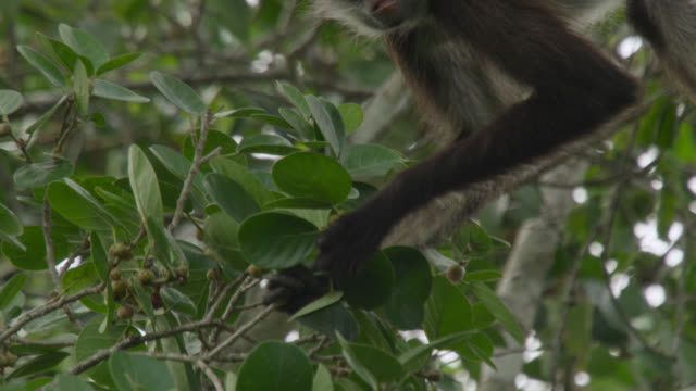 """Geoffroy's spider monkey (Ateles geoffroyi) eats fruits in forest, Calakmul, Mexico"""