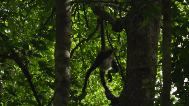 """Geoffroy's spider monkey (Ateles geoffroyi) hangs by tail in forest, Calakmul, Mexico"""