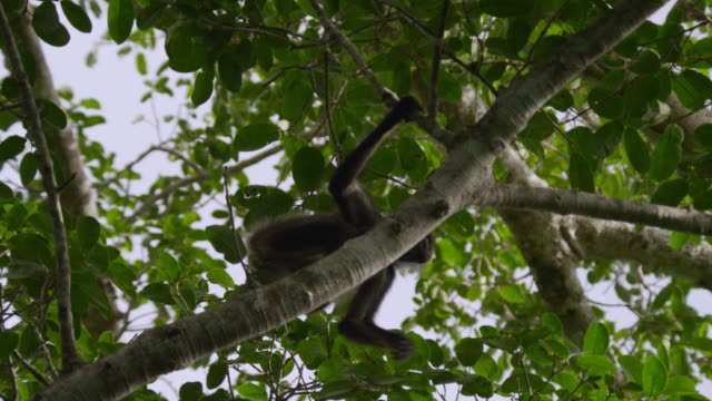 """Geoffroy's spider monkey (Ateles geoffroyi) swings in forest, Calakmul, Mexico"""