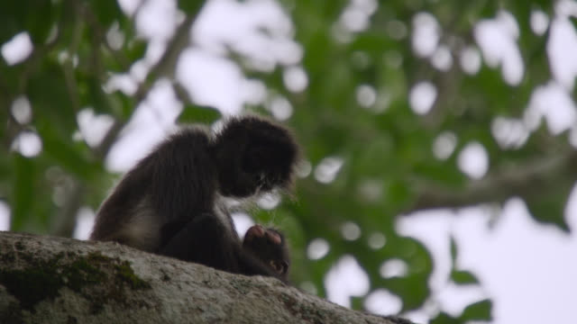 """Geoffroy's spider monkey (Ateles geoffroyi) with baby in forest, Calakmul, Mexico"""