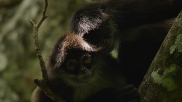"""Geoffroy's spider monkey (Ateles geoffroyi) yawns in forest, Calakmul, Mexico"""