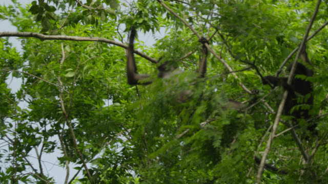 """Geoffroy's spider monkeys (Ateles geoffroyi) clamber in forest, Calakmul, Mexico"""