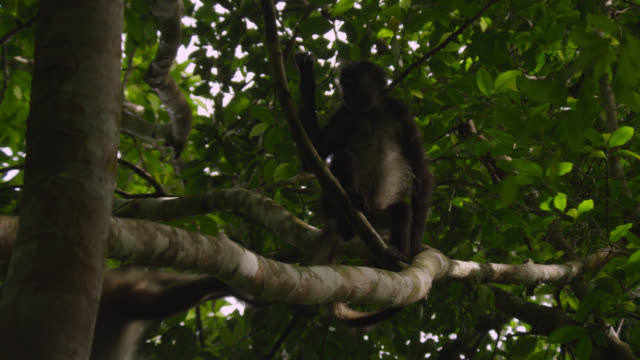 """Geoffroy's spider monkeys (Ateles geoffroyi) leap in forest, Calakmul, Mexico"""