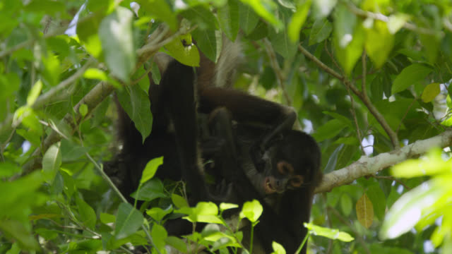 """Geoffroy's spider monkeys (Ateles geoffroyi) playfight in forest, Calakmul, Mexico"""