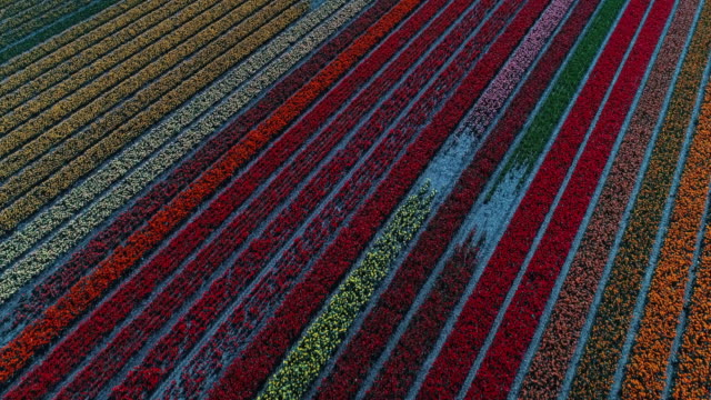 geometric patterns caused by rows of tulips seen from an aerial perspective, netherlands - tulpe stock-videos und b-roll-filmmaterial