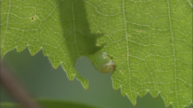 geometrid moth caterpillar feeds on birch leaves, uk - feeding stock videos & royalty-free footage