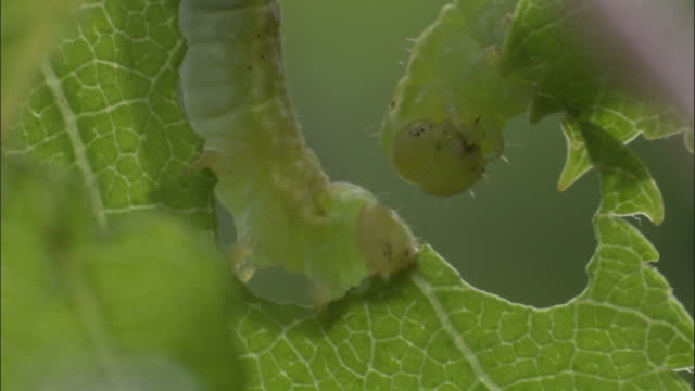 vídeos de stock, filmes e b-roll de geometrid moth caterpillar feeds on birch leaves, uk - lagarta