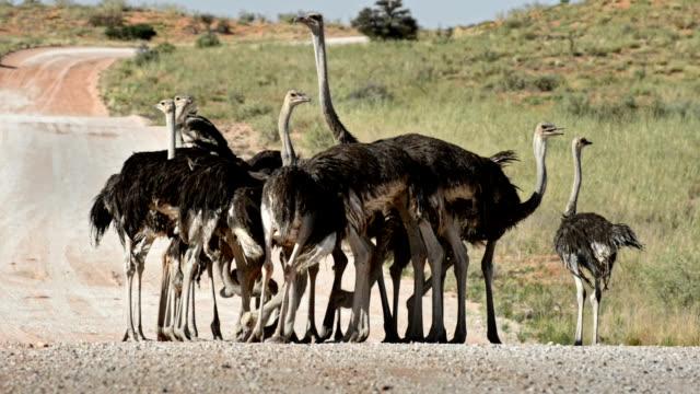 vídeos y material grabado en eventos de stock de geophagia by southern ostriches - desierto del kalahari