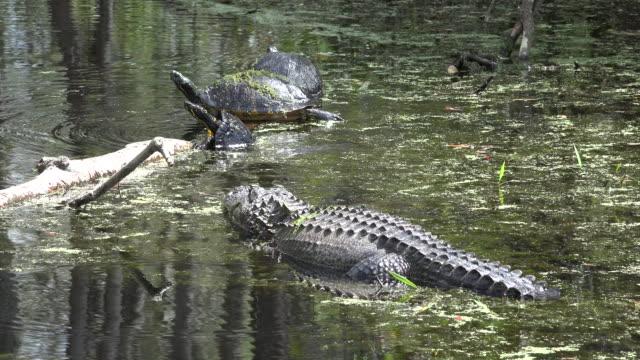 georgia okefenokee alligator and turtles - okefenokee national wildlife refuge stock videos and b-roll footage