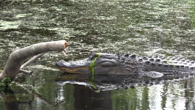 georgia okefenokee alligator in water by log zoom in - okefenokee national wildlife refuge stock videos and b-roll footage